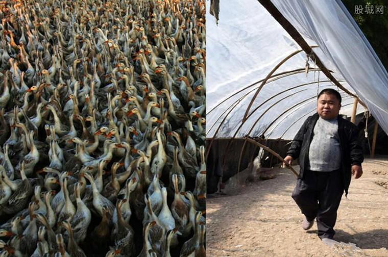 1米2哥哥养三千蛋鸭