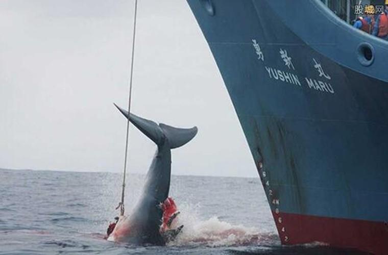鲸鱼被残忍杀害