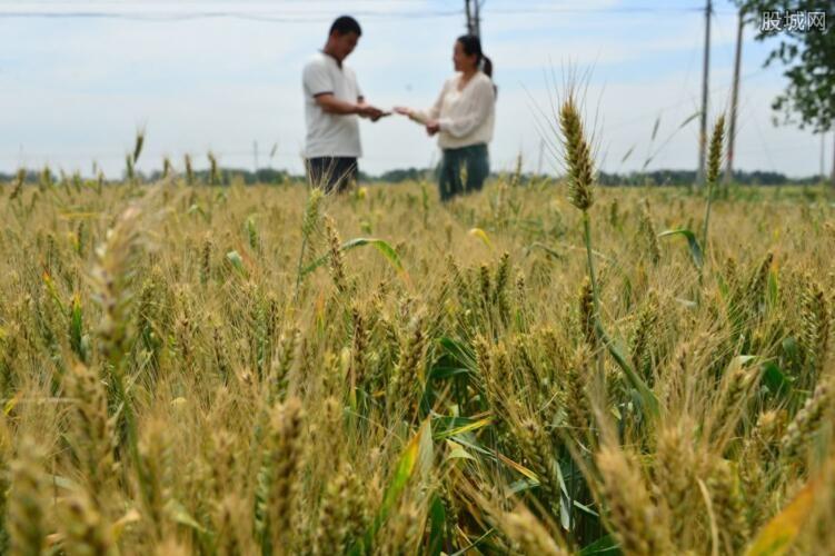 沙漠种植水稻在迪拜试验成功