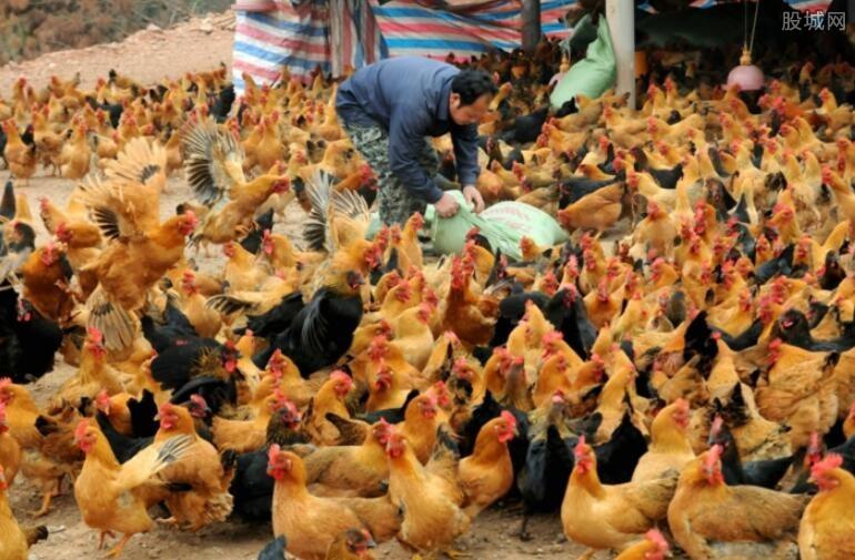 鸡苗价格上涨幅度