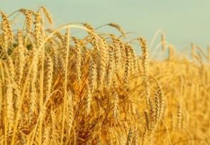小麦价格最新行情 小麦价格后期会涨吗?