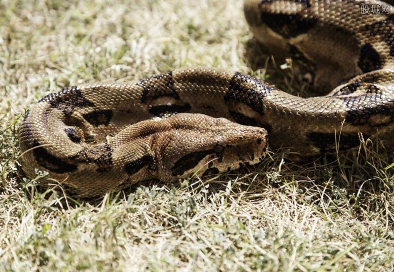北京抓获百米巨型蟒蛇