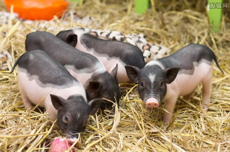男子养香猪收入高