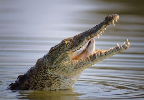鳄鱼将男子拖入水 第二天鳄鱼将男子尸体完整无缺送回