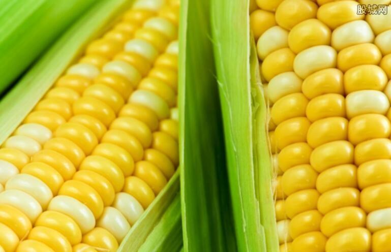 玉米或产不足需