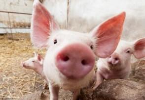 双汇确认病猪未使用 双汇发展股票跳水并迅速封死跌停