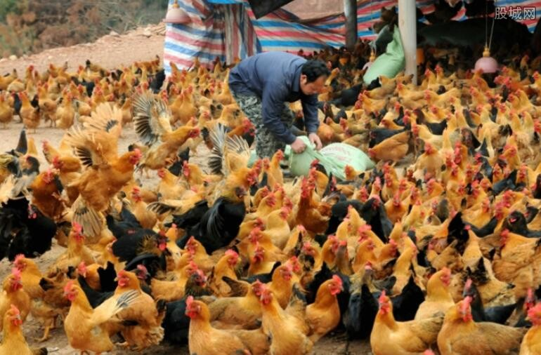 蛋鸡养殖业难言欢喜