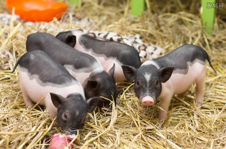 乡下养猪是好项目