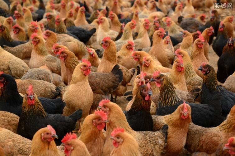 养鸡能发家致富