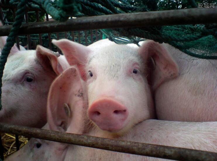 生猪非洲猪瘟疫情