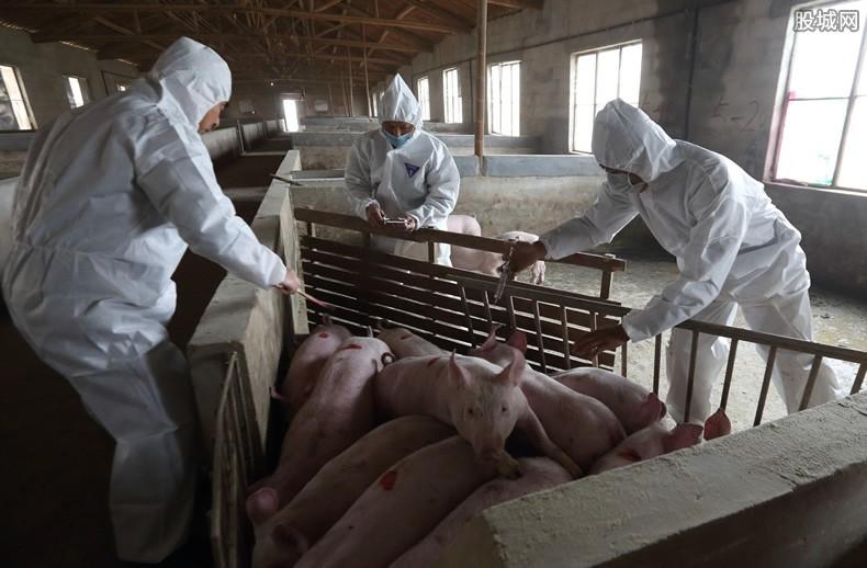 临汾发现猪瘟 非洲