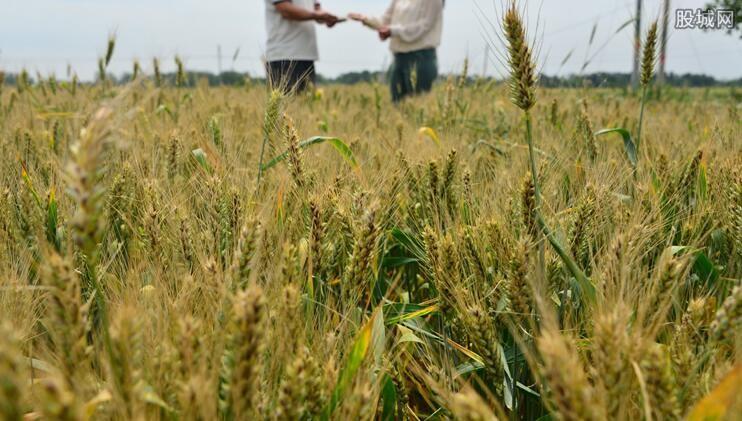 小麦价格最新消息