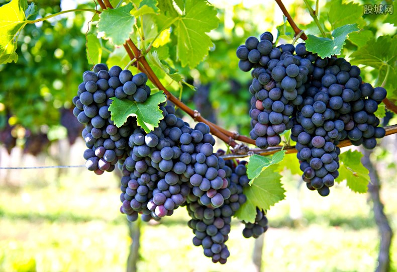 日本葡萄拍出天价