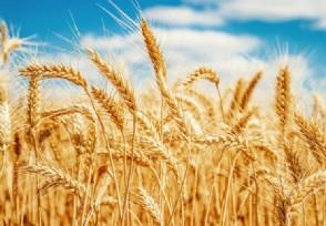 全国已收获6500万亩 小麦跨区机收全面展开