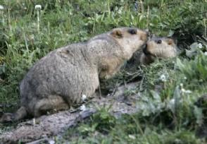 内蒙古巴彦淖尔发布鼠疫三级预警该病毒传染人吗?