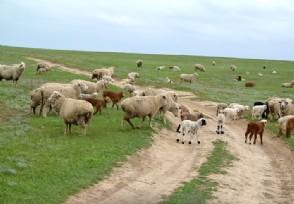 """世界上最贵的羊332万元成交 网友:羊中""""爱马仕"""""""