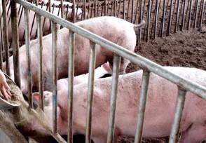 日本已扑杀生猪17万头再一次爆发猪瘟