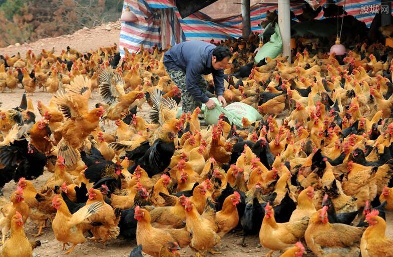 养殖户养鸡