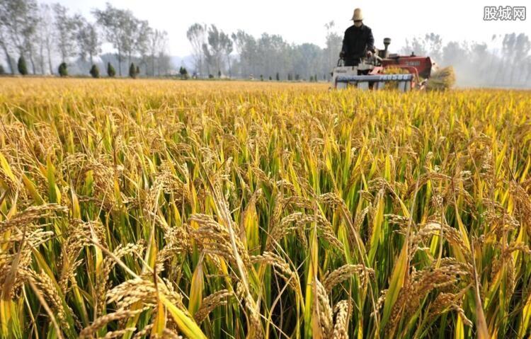 袁隆平团队沙漠海水稻亩产超千斤 产量大得让人振奋