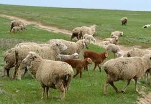 蒙古国捐赠的首批活羊22日入境价值数千万羊到国内