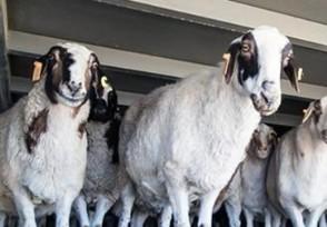蒙古国3万只羊是如何体检的价值多少人民币