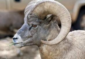 蒙古捐赠的3万只羊全部入境 价值几千万人民币