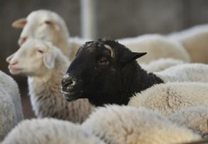 养20头羊一年赚多少钱?大棚建设价格贵不贵