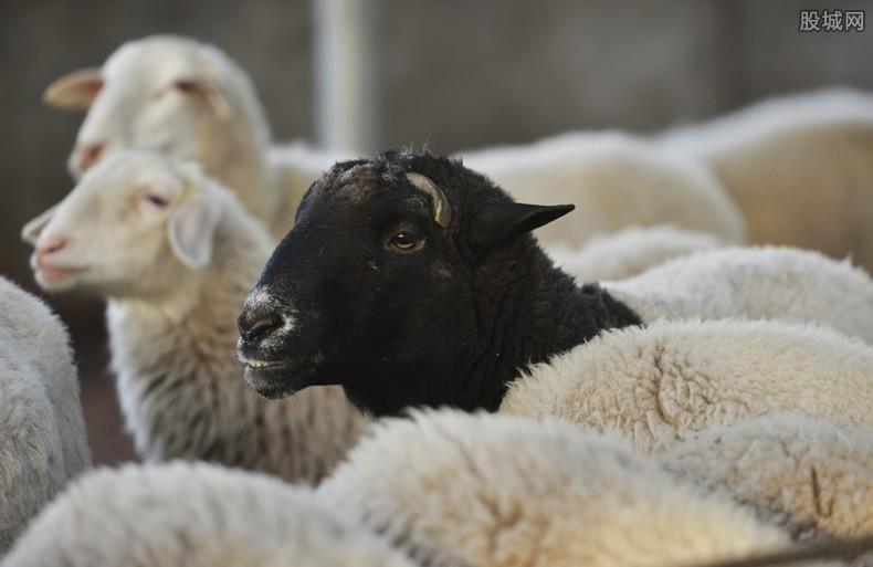 蒙古国捐羊给湖北