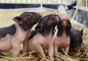 大批房企转行养猪 盈利期将持续到明年