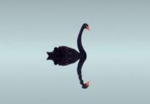 黑天鹅事件是什么意思?具有意外性产生重大影响