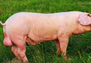 养猪千年的中国被卡脖子 种猪进口依赖度高