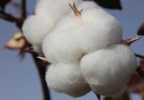 新疆棉花和普通棉花区别看完才知道这么好