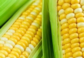 今日玉米最新价格 下月会突破2元一斤吗?