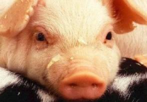 猪肉价格跌破每斤15元 为什么下降这么厉害?