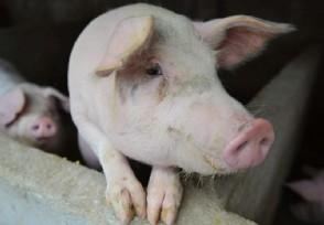 菲律宾进入国家灾难状态只因非洲猪瘟又暴发了