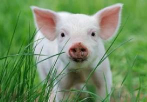 生猪价格跌破一斤10元还会继续下跌吗?