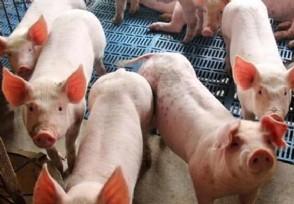 2021下半年猪价走势现在猪肉多少钱一斤