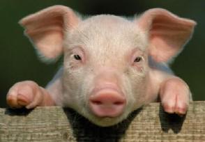 猪价下跌的真正原因 广东10元一斤猪肉是真的吗