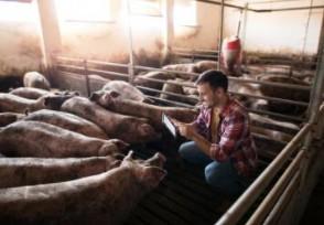 英国养猪业半年损失10亿元 多个行业受到打击