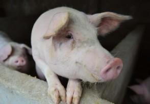 8月猪肉价格同比下降44.9% 中秋节猪价还能涨吗