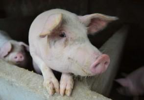 南京一猪企收到雪花般降薪请愿书猪价回暖再补发工资