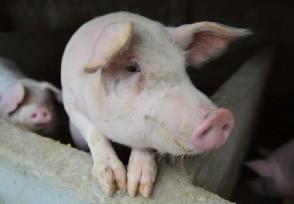 养一头猪亏上千元明年二季度猪价或将见底
